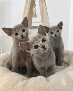 Cherche Bleu Russe, Sphynx, Bengal, (Serval) Savannah ...