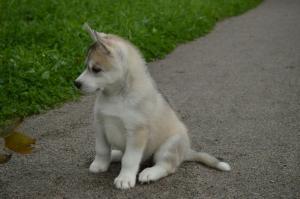 Reinrassigen Siberian Husky zu verkaufen