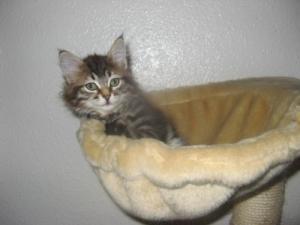chatons sibérien à vendre