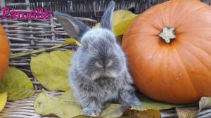 Magnifique petits lapins x bélier nain pure race