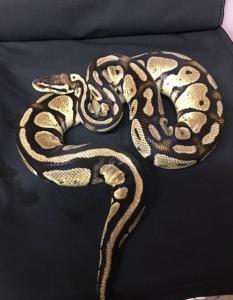 Éleveur vend serpent python et Boa