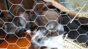 6 lapins de ferme