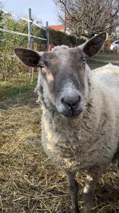 Divers moutons à vendre