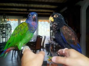 2 petits perroquets apprivoisée EAM + CAGE complète