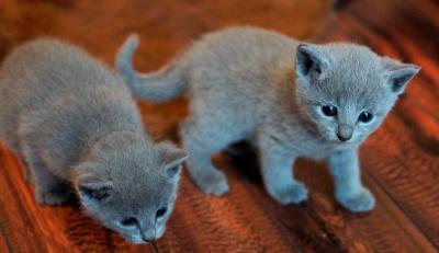 A DONNER: chatons Bleu russe pure race male et femelle.