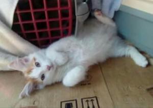 Chaton Turc Van le chat chien par exelence