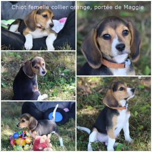 Chiot Beagle Femelle Pedigree