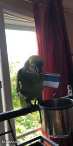 Amazon papegøje i blå front