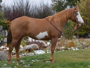 American Paint horse  für gutes Zuhause
