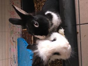 Un couple de lapins