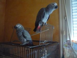 Je Donne mon perroquet Gris du Gabon