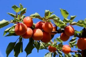 Abres fruitiers à 14.00