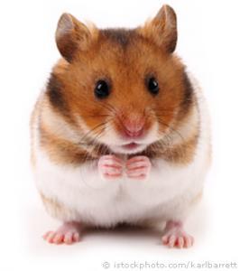 Cherche bébé hamster doré / syrien à adopter