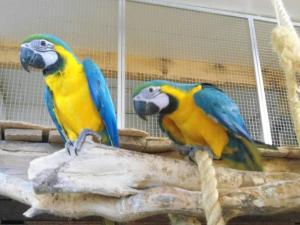 Perroquets Ara jaune et bleu