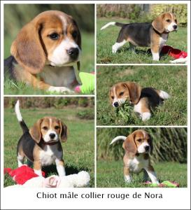 Chiot Beagle tricolore Pedigree 2 mois