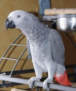 A Donner mâle Perroquet Gris du Gabon