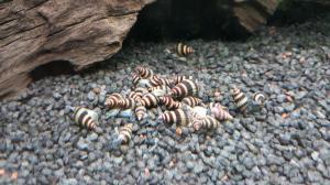 Escargots mangeurs d'escargots Anentome Helena