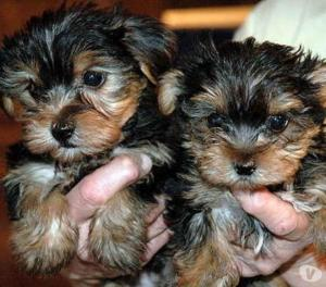 A DONNER: Joli petits chiots yorkshire