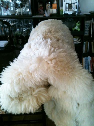 Vrai peau de Lama blanc en excellent état