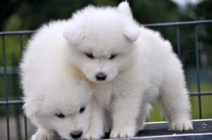 A DONNER : chiots Samoyede pure race male et femelle.