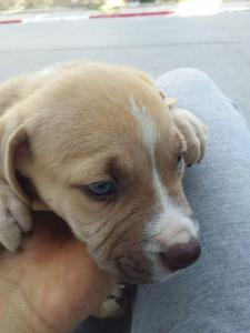 staffordshire bull terrier Red nose